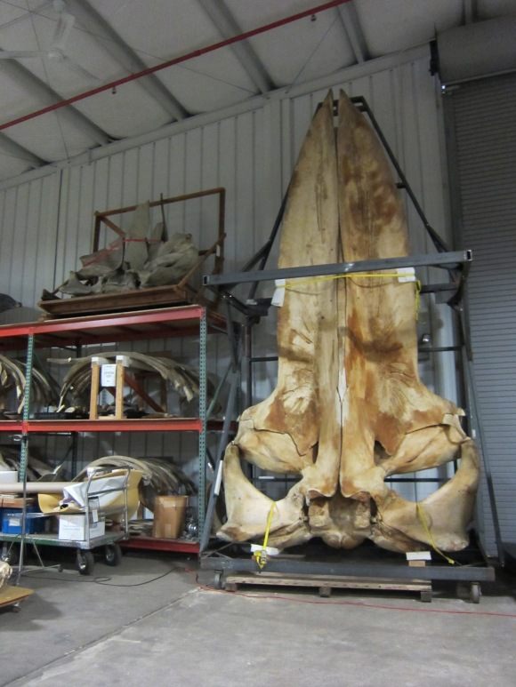Blue whale skull behind-the-scenes at the Smithsonian